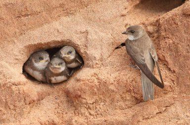 Jedním z nejtypičtějších obyvatel opuštěných i aktivních pískoven je břehule říční