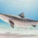"""""""Tsukumo No. 24"""" – první známá oběť žraločího útoku - tigershark_header-1024×683-1200×600"""